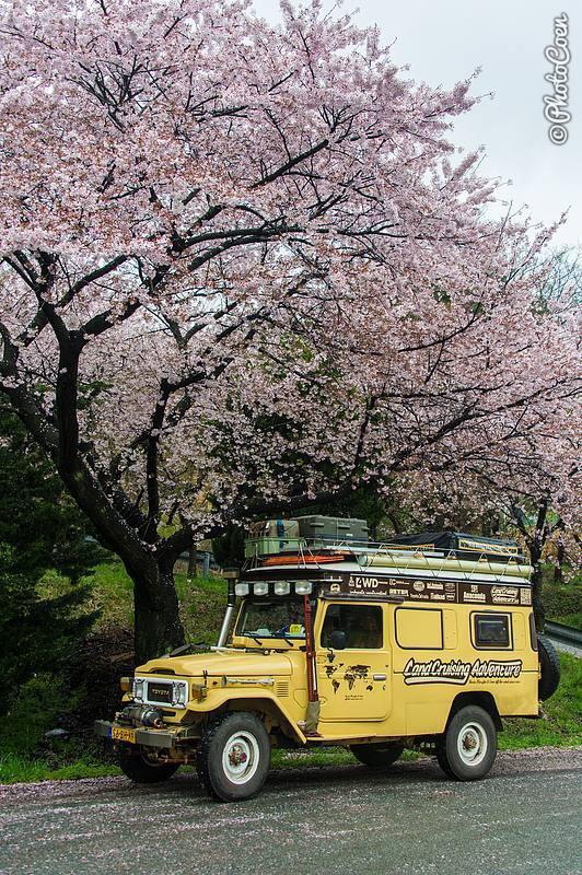 """Saison de fleurs de cerisier à Jinhae, Corée (© photocoen) """"data-recalc-dims ="""" 1 """"/> </p> <p class="""
